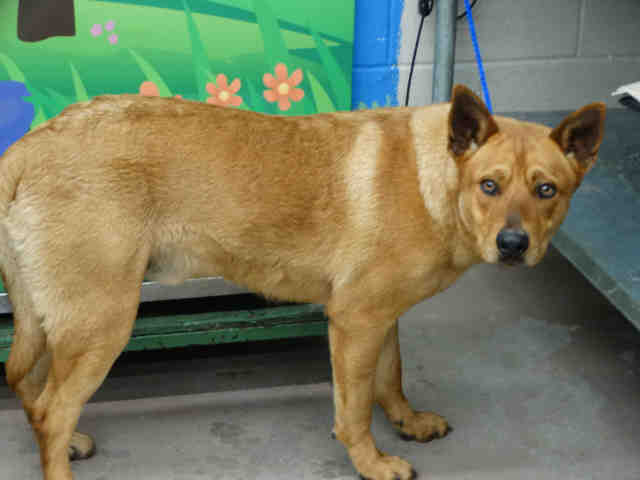 Dog For Adoption Harlo A Chow Chow German Shepherd Dog Mix In