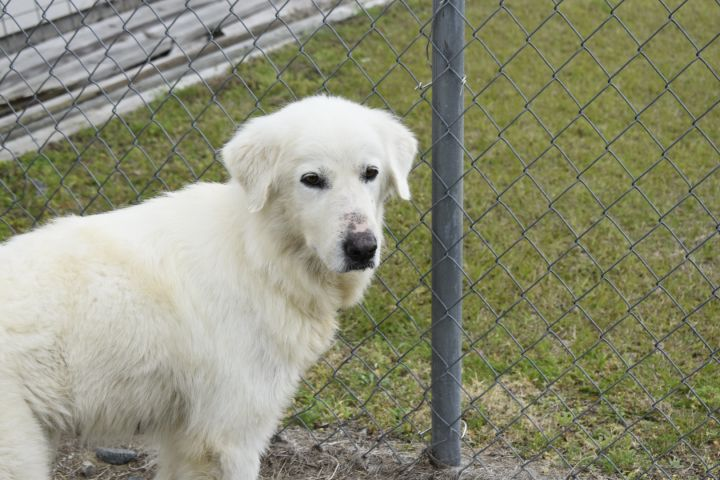 Queso, an adopted Great Pyrenees in Valdosta, GA
