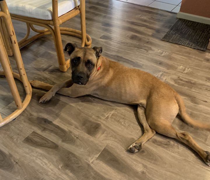 Marky 1-151-19, an adoptable Mastiff & Boxer Mix in Grass Valley, CA