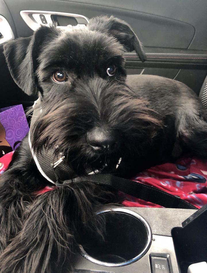 Dog For Adoption Auggie A Standard Schnauzer In Sharonville Oh