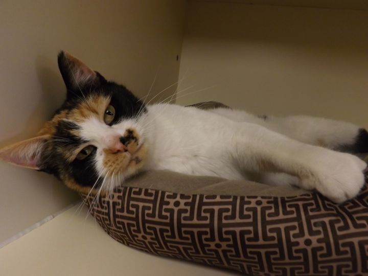 Brandi, an adopted Domestic Short Hair & Calico Mix in Hays, KS