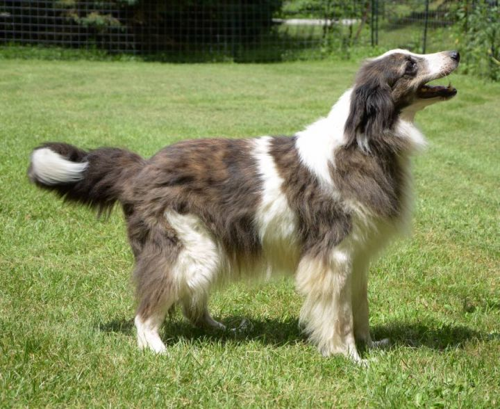 Dog For Adoption Bear A Collie Border Collie Mix In Tiffin Oh