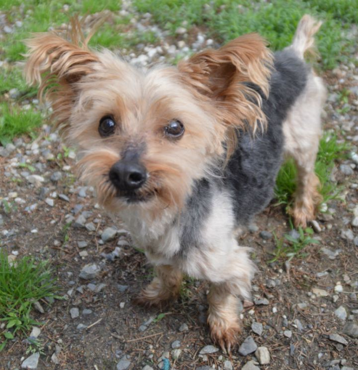 Salim, an adopted Silky Terrier in Chester Springs, PA