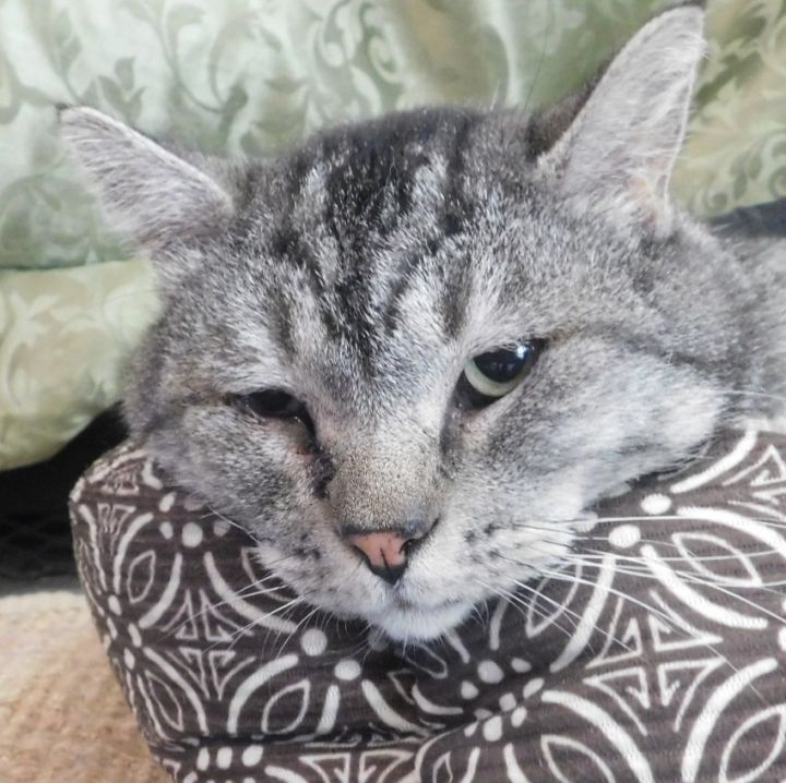 Franklin, an adoptable Domestic Short Hair in Ridgway, CO