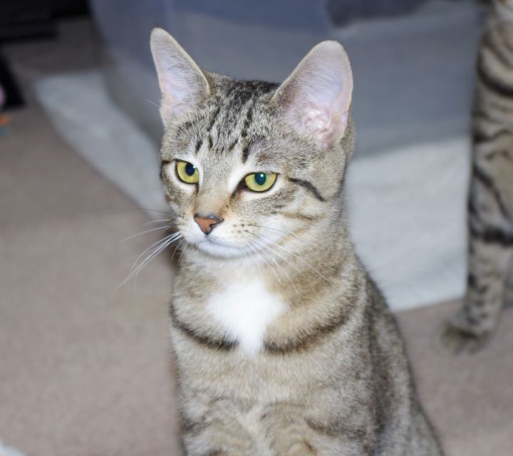 Carrie, an adoptable Domestic Short Hair in Boiling Springs, PA