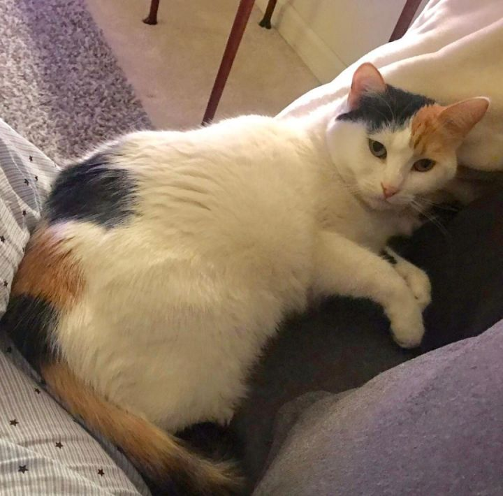 d784f83fbe ... an adoptable Turkish Van   Calico Mix in Mission Viejo