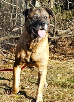 Marge, an adopted Rottweiler & German Shepherd Dog Mix in Canterbury, CT