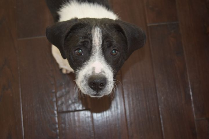 MR PIBB, an adopted Wirehaired Terrier & Basset Hound Mix in La Grange, KY