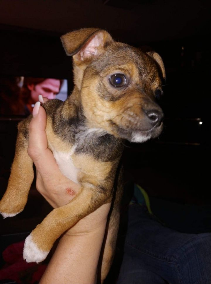 Dog For Adoption Rose A Chihuahua Terrier Mix In Lubbock Tx