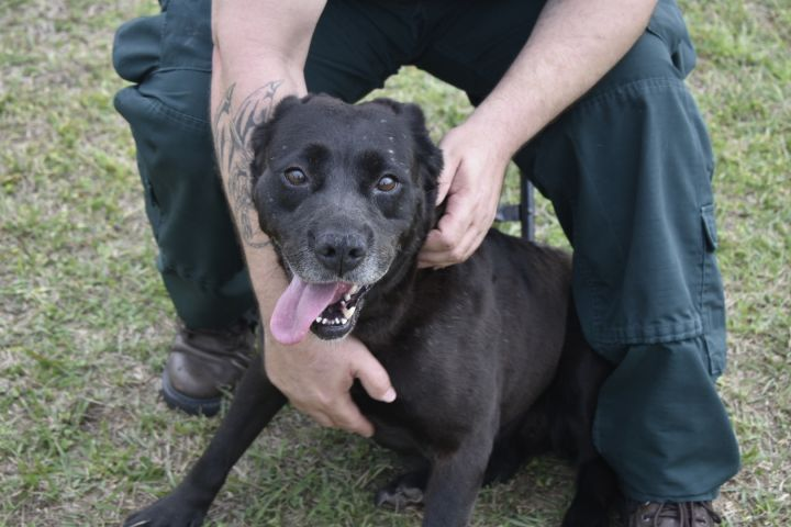 Becky, an adopted Labrador Retriever in Valdosta, GA