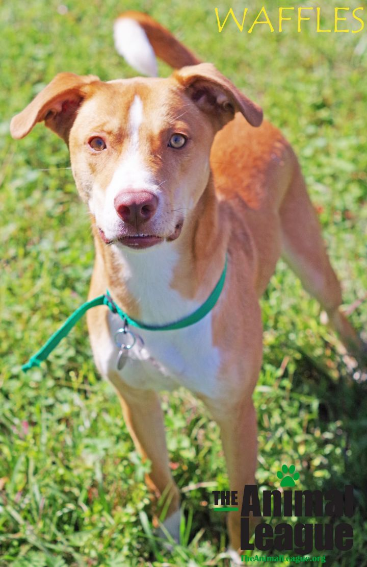 Waffles, an adoptable Hound Mix in Clermont, FL
