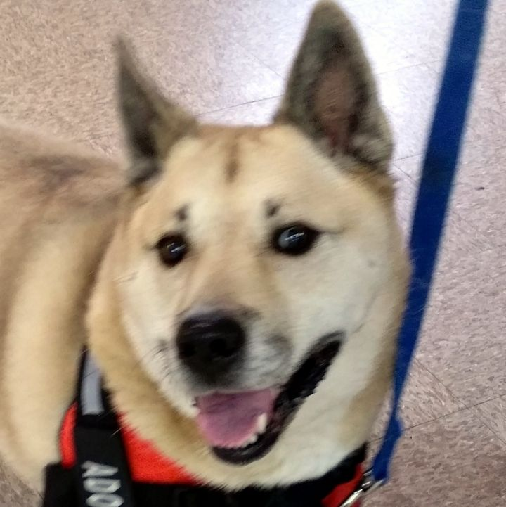 Goldie, an adopted Husky & Labrador Retriever Mix in Bloomington, IL