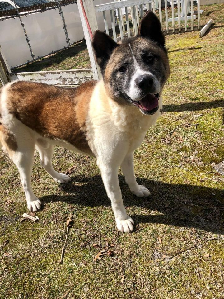 Robby, an adoptable Akita in Toms River, NJ
