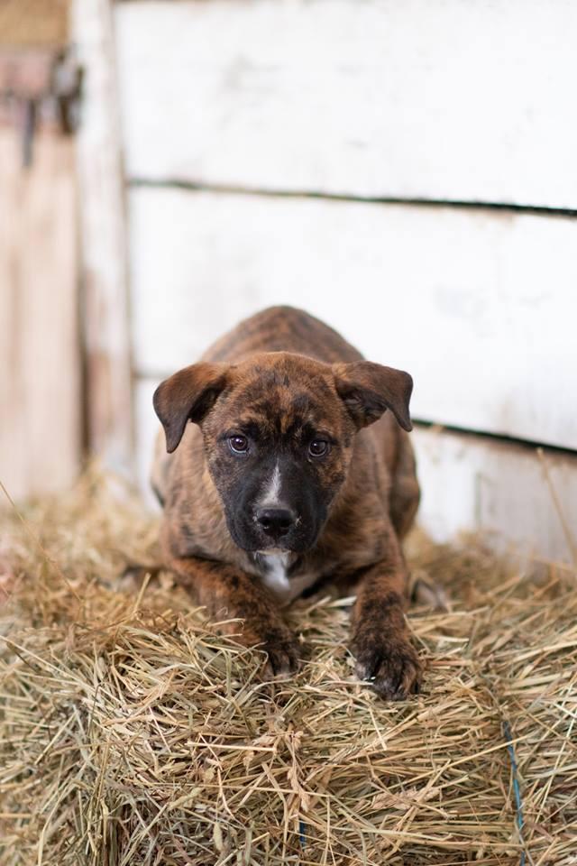 Dog For Adoption More Lab Mixed Puppies A Labrador Retriever Mix