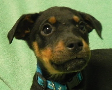 Dog For Adoption Charlie Sweet Puppy Breath Near Kokomo In