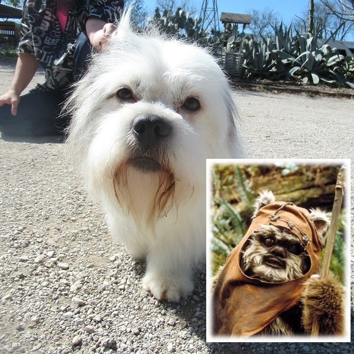Dog For Adoption Ewok Jum Near Von Ormy Tx Petfinder