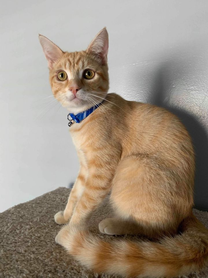 Weasley, an adoptable Domestic Short Hair in Buena Park, CA