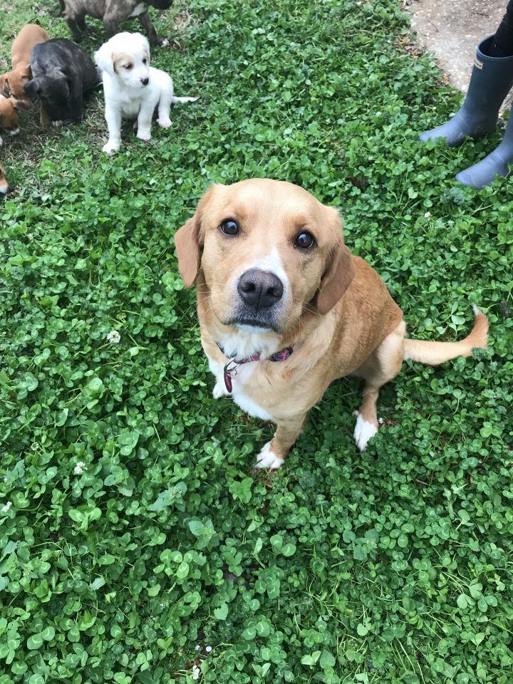 Dog For Adoption Goldies Puppies A Golden Retriever Labrador