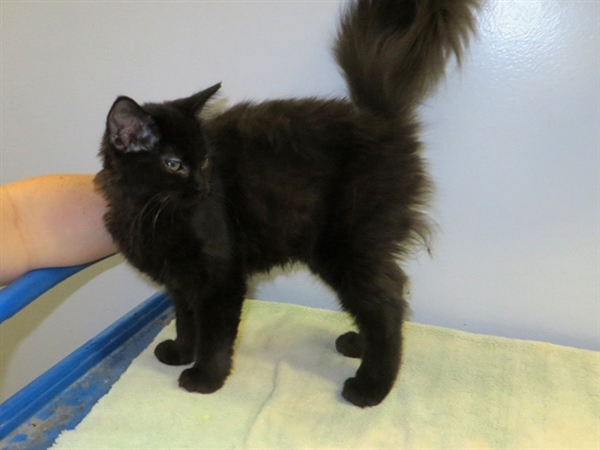 Cat for adoption - Jinx, a Domestic Long Hair Mix in Indiana, PA