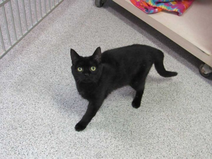 Eclipse, an adopted Domestic Short Hair Mix in Carthage, NC