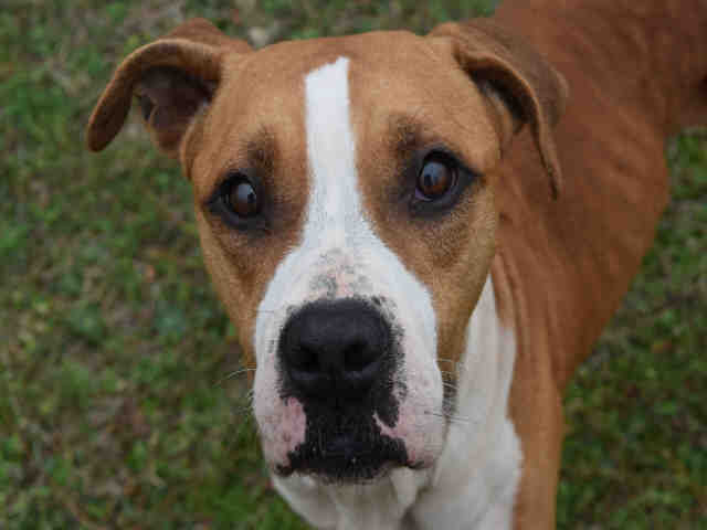 Dog For Adoption Ezra A Boxer Mix In Panama City Fl Petfinder