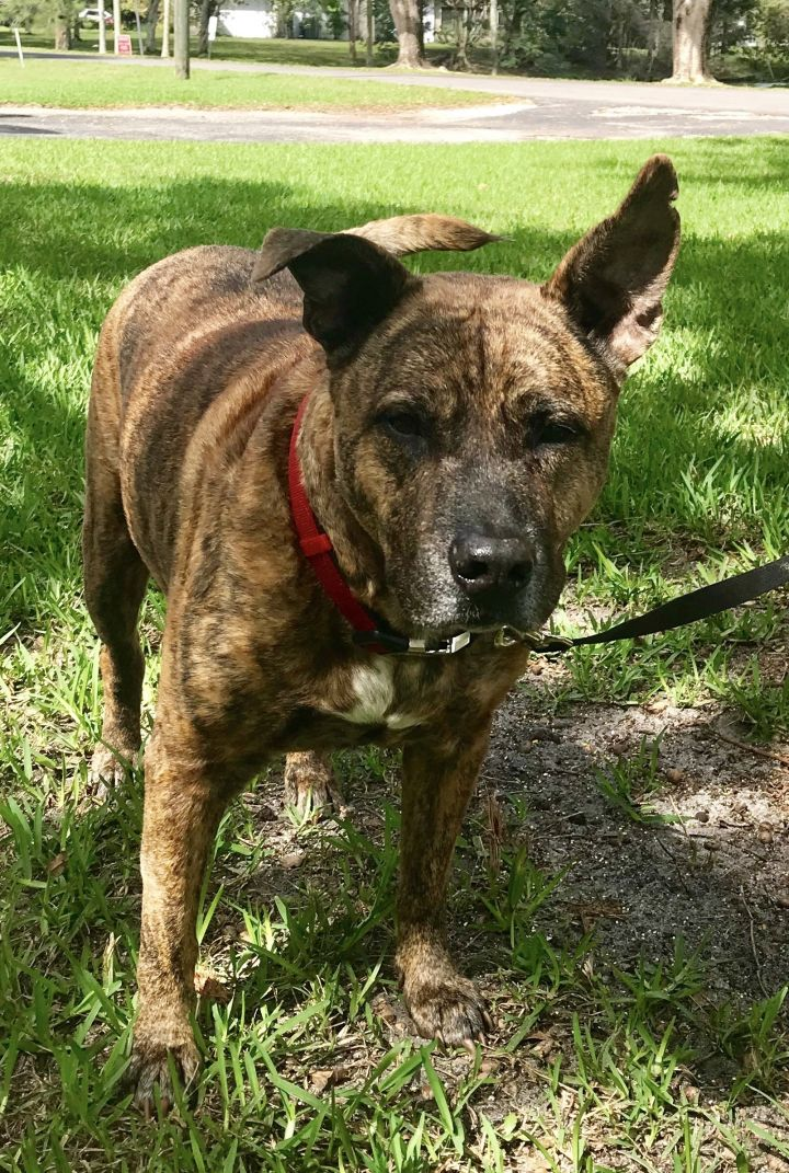Rockyroo, an adoptable Catahoula Leopard Dog & Dutch Shepherd Mix in Davie, FL