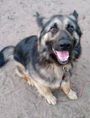 Dog For Adoption Mya A German Shepherd Dog In Browerville Mn