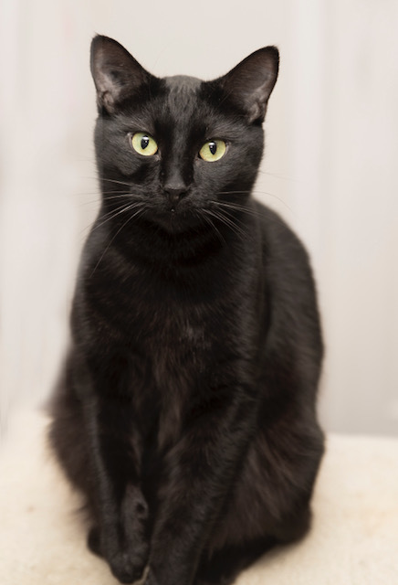 Binky, an adopted Domestic Short Hair in New Westminster, BC_image-1