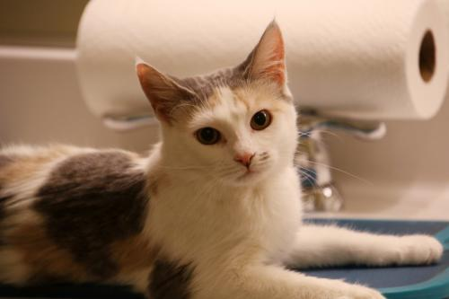 Lamp, an adoptable Domestic Short Hair in Herndon, VA