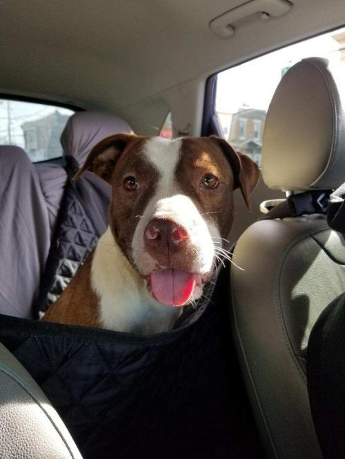 Maple, an adopted Pit Bull Terrier Mix in Catasauqua, PA