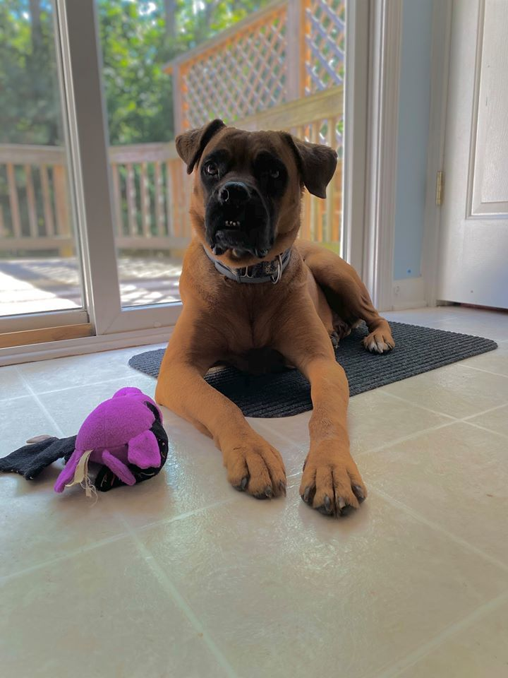 Lily, an adoptable Boxer Mix in Fredericksburg, VA