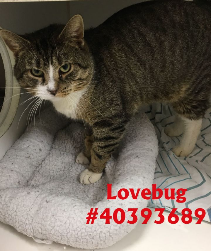 Lovebug, an adoptable Tabby in Wilkes Barre, PA