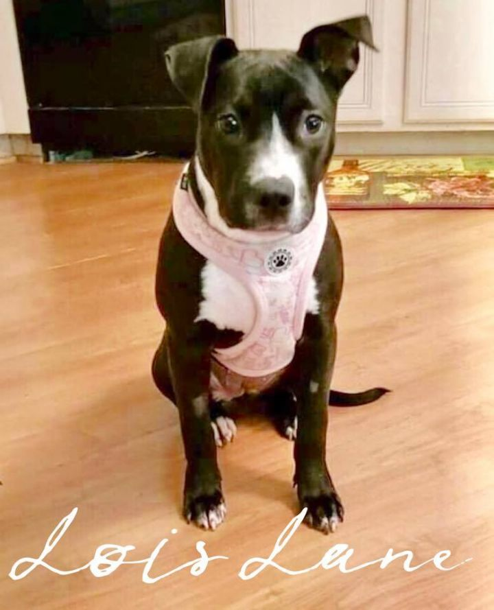 Lois Lane, an adopted Pit Bull Terrier in Cypress, TX