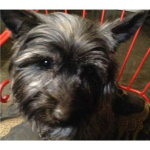 Cairn Terrier Rescue Missouri