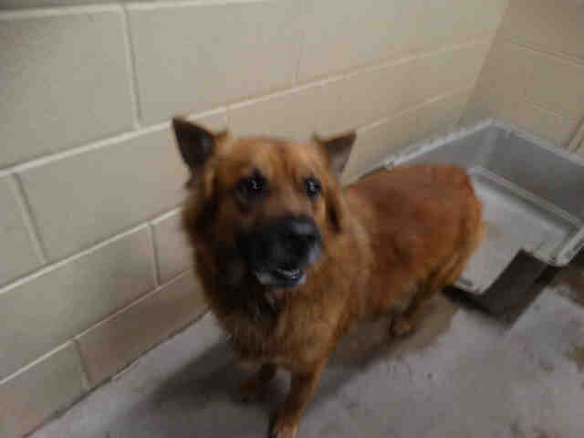 Dog For Adoption King A Chow Chow German Shepherd Dog Mix In