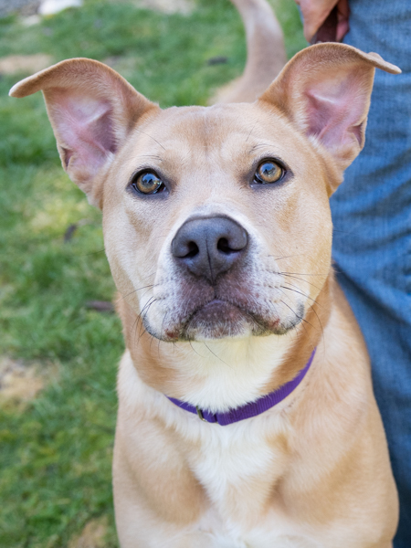 Cali, an adopted Staffordshire Bull Terrier & Labrador Retriever Mix in Port Townsend, WA