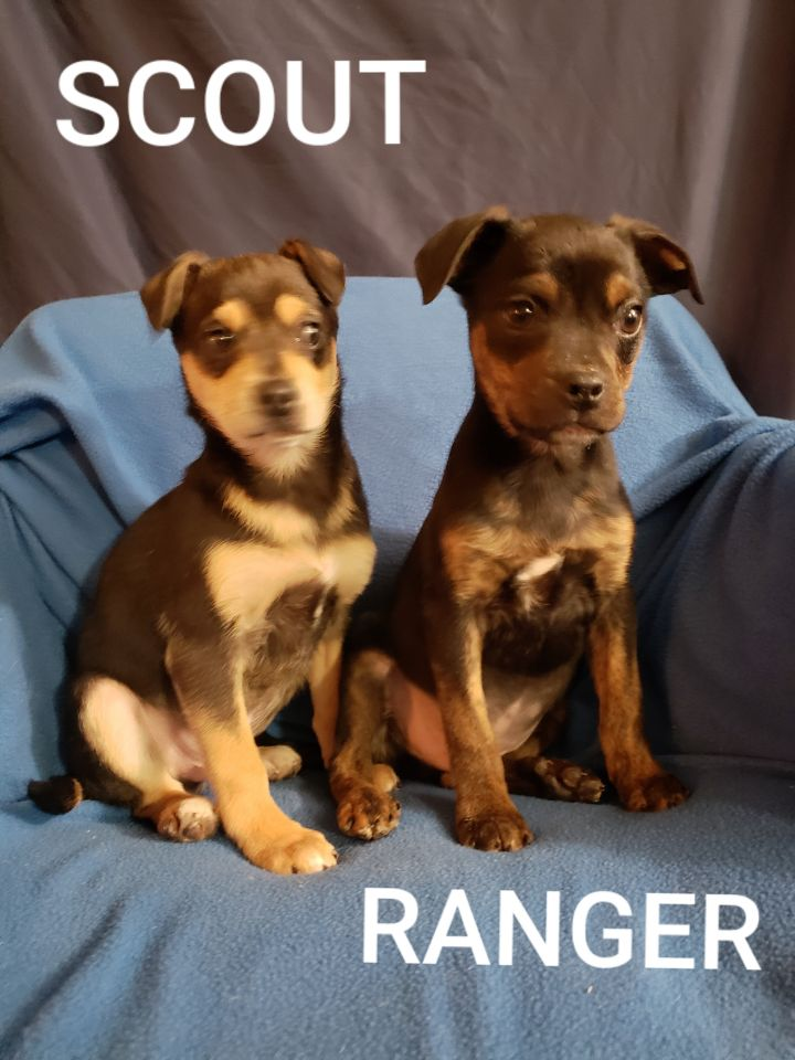 Dog For Adoption Puppies A Boston Terrier Mix In Everson Wa