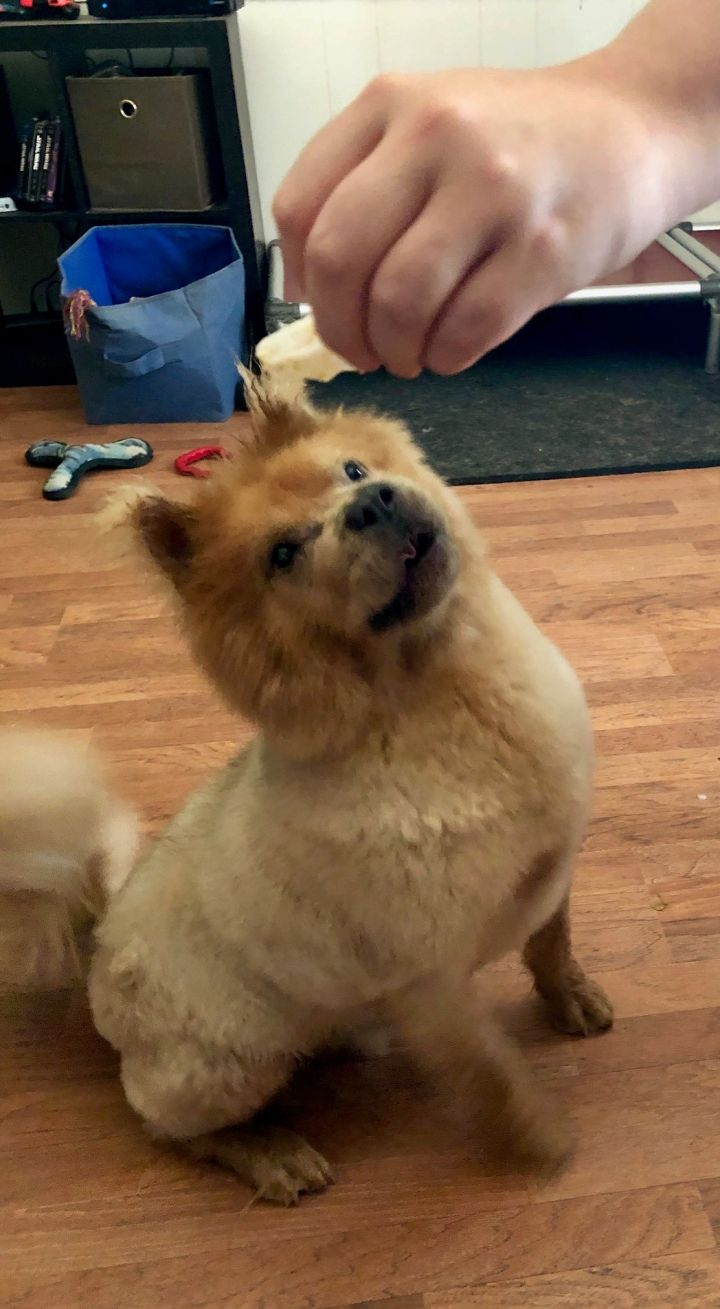 Dog for adoption - Maverick, a Chow Chow Mix in Houston, TX | Petfinder