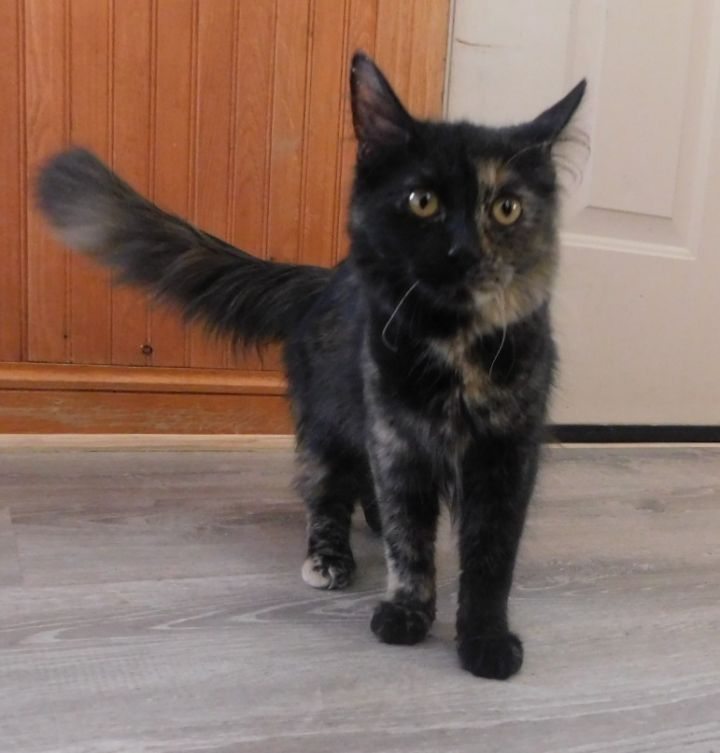 Paradise, an adoptable Tortoiseshell in Ridgway, CO