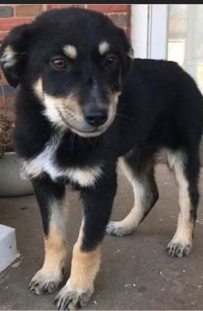 Dog for adoption - Berkeley, an Australian Shepherd