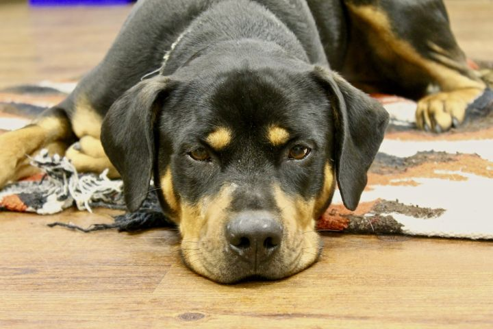 Bella, an adoptable Rottweiler Mix in Lake Odessa, MI
