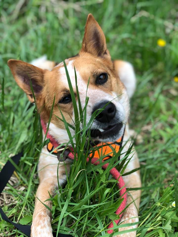 Charlie, an adoptable Australian Cattle Dog / Blue Heeler Mix in Lake Odessa, MI