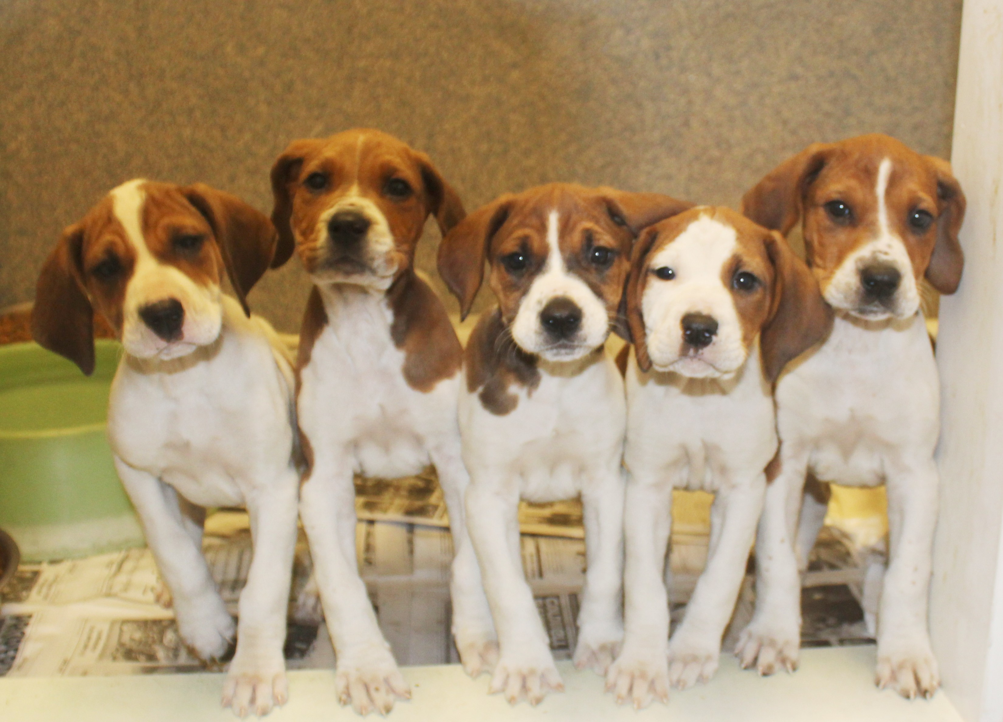 Dog For Adoption Hushpuppies Coonhounds 4 Females1 Male A