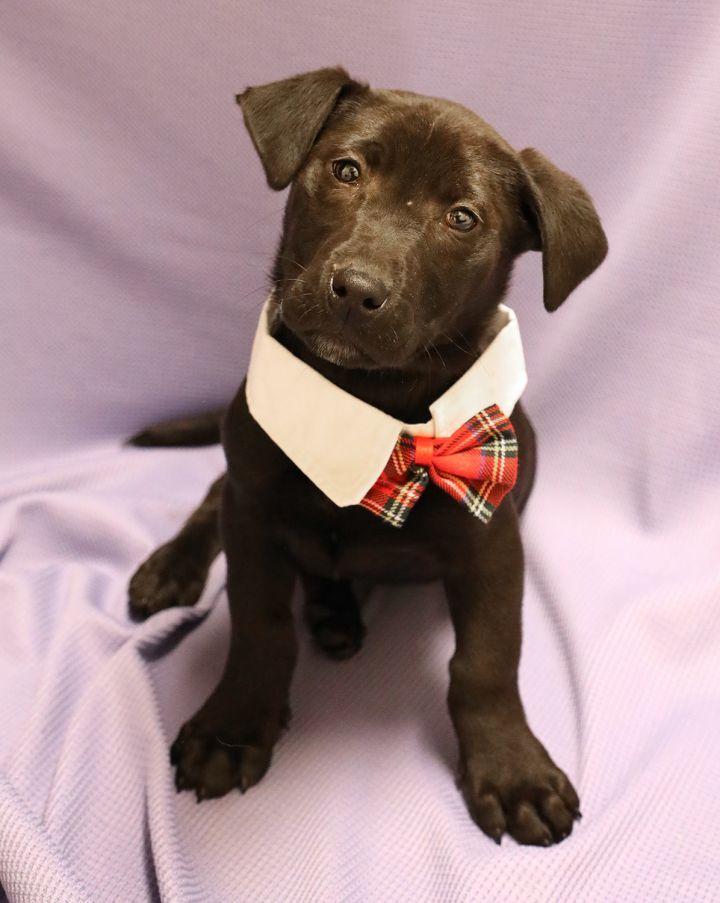 Dog For Adoption 2 Puppies M F A Labrador Retriever Basset
