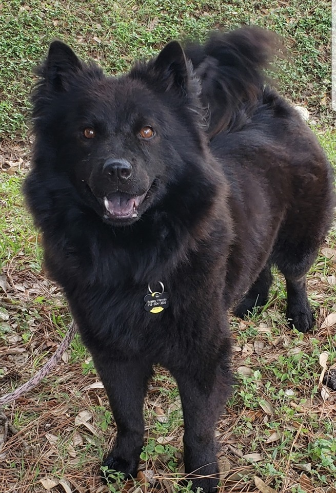 Dog for adoption - Anastasia, a Chow Chow Mix in Houston, TX | Petfinder