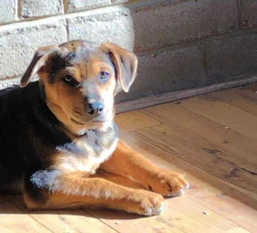 Dog For Adoption Henry A Hound Mix In Evergreen Co Petfinder