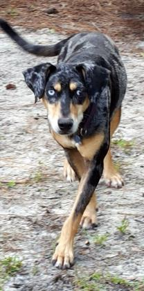 Ursa, an adoptable Catahoula Leopard Dog Mix in Loxahatchee, FL