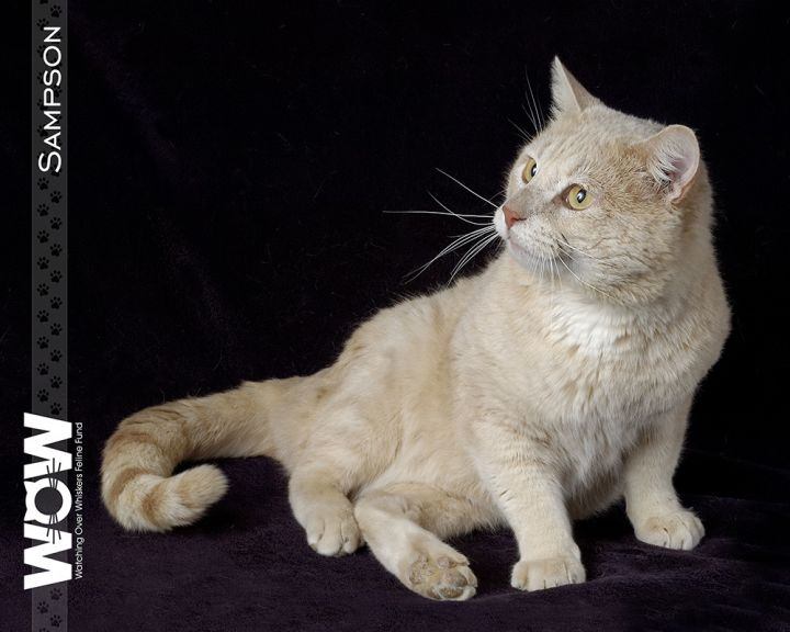 Sampson, an adopted Domestic Short Hair in Springfield, MO