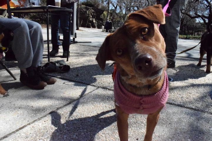 Nala Sato Girl, an adopted Hound in New York, NY