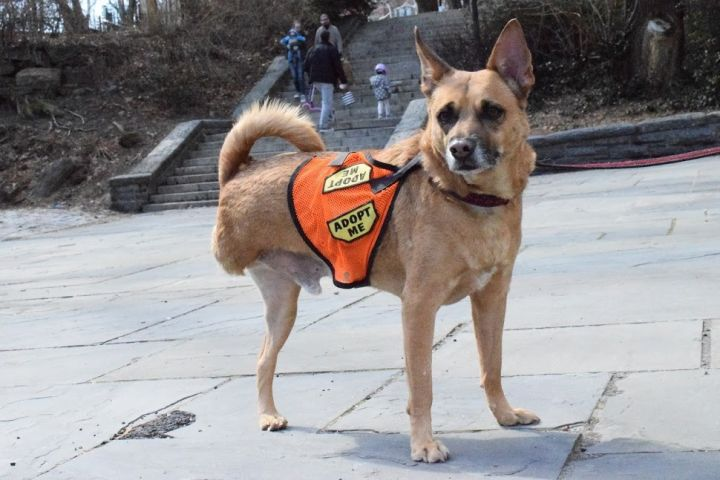 Diego PR Sato Tripod, an adopted Shiba Inu & German Shepherd Dog Mix in New York, NY